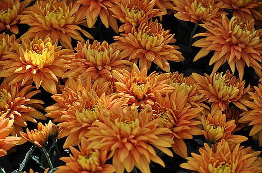 Debra  Miller - Sending Joy Chrysanthemums