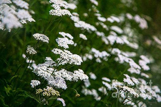 Omaste Witkowski - Sensing Sunlight Methow Valley Flowers by Omashte