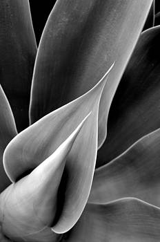 Sensuous Succulent Rays by Sandy Fisher