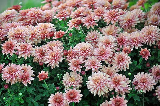 Debra  Miller - Sentimental Surprise Chrysanthemum