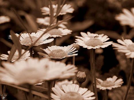 Scott Hovind - Sepia Daisies