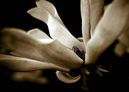 Sepia Magnolia by Frank Tschakert