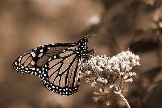Jill Lang - Sepia Tone Butterfly