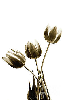 Scott Pellegrin - Sepia Tulips