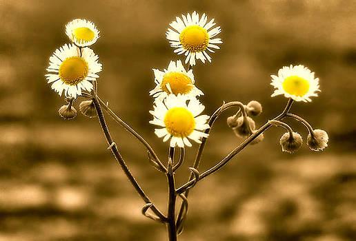 Karen Scovill - Sepia Wildflowers