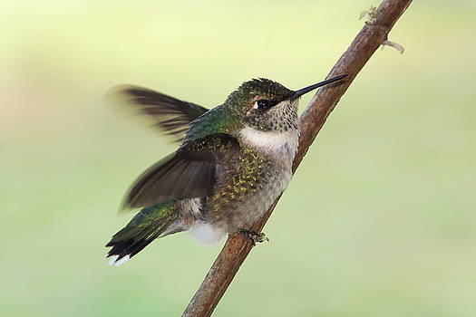 September Hummingbird by TnBackroadsPhotos