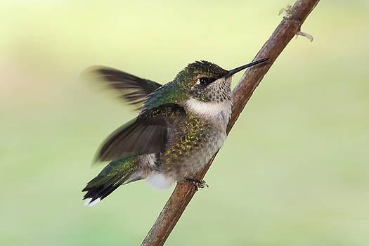 September Hummingbird by TnBackroadsPhotos