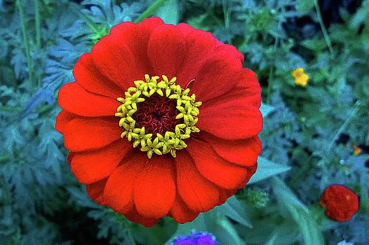 September Red Beauty by Roger Bester