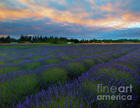Sequim Lavender Sunset by Mike Dawson