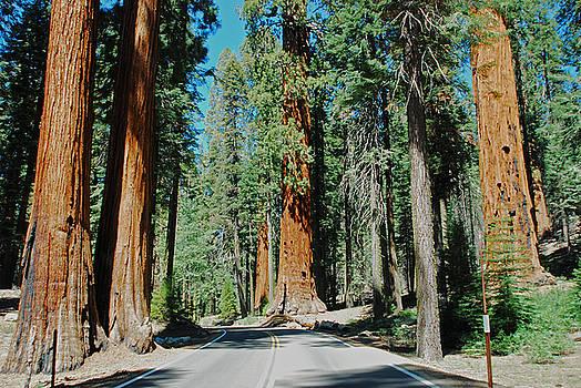 Sequoia National Park by Bob O'Dean