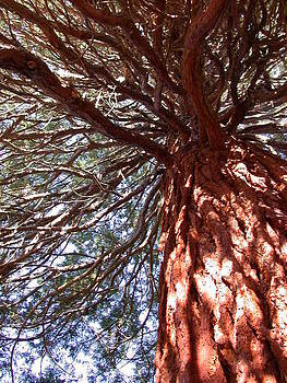 Sequoia Tree by Susan Boyes