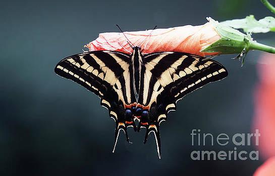 Serene Swallowtail  by Ruth Jolly