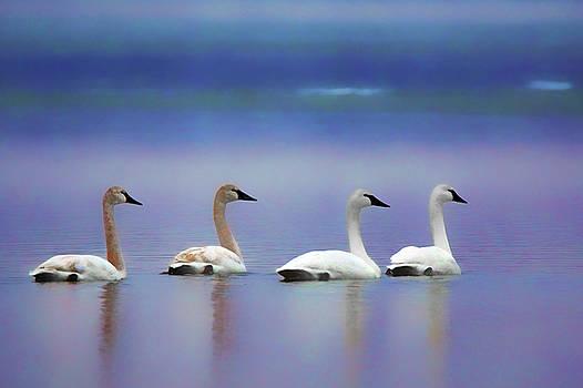 Nikolyn McDonald - Serenity - Swans