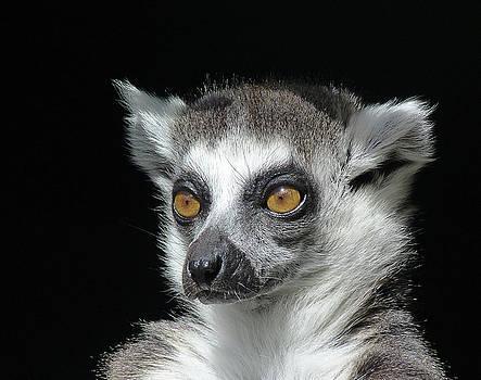 Serious Ring-tailed Lemur by Margaret Saheed