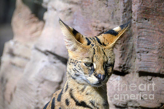 Serval Cat by Catherine Sherman