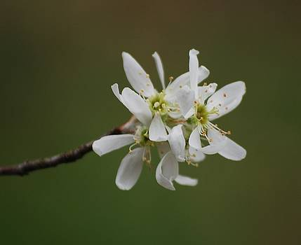 Serviceberry Bloom by Randy Bodkins