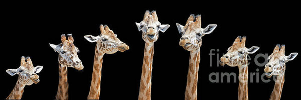 Seven giraffes with different facial expressions by Jane Rix