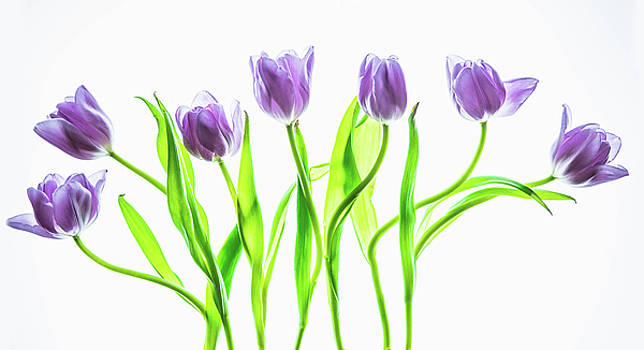 Seven Purple Tulips by Rebecca Cozart