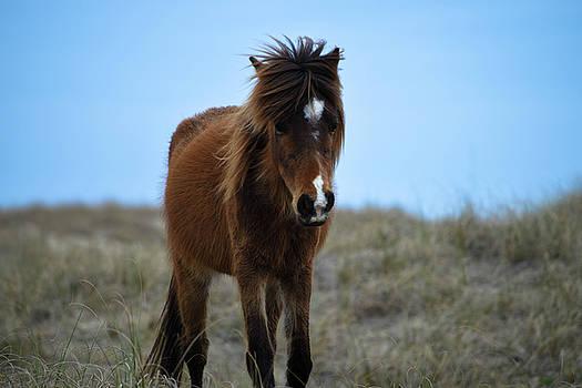 Shackleford Banks Pony by Debbie Morris