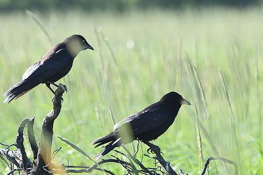 Shaded Crows by Sherry McKellar