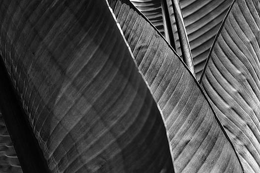 Shades of Heliconia by August Timmermans