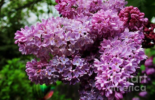 Shades of Lilac by Denise Irving