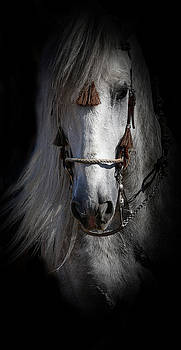 Shadowed Andalusian  by Athena Mckinzie