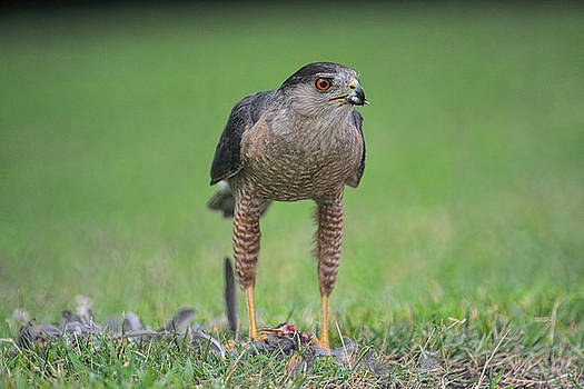 Sharp Shinned Hawk Eating Prey 062420159566 by WildBird Photographs