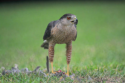 Sharp Shinned Hawk Eating Prey 062420159567 by WildBird Photographs