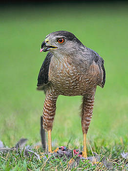 Sharp Shinned Hawk Eating Prey 062420159636 by WildBird Photographs
