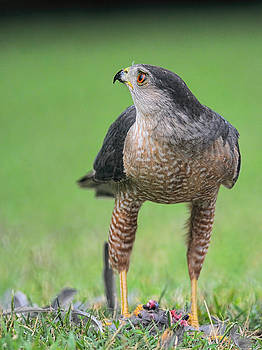 Sharp Shinned Hawk Guarding His Prey 062420159629 by WildBird Photographs