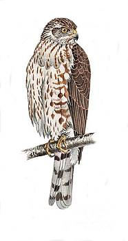 Sharp-shinned Hawk by Scott Rashid
