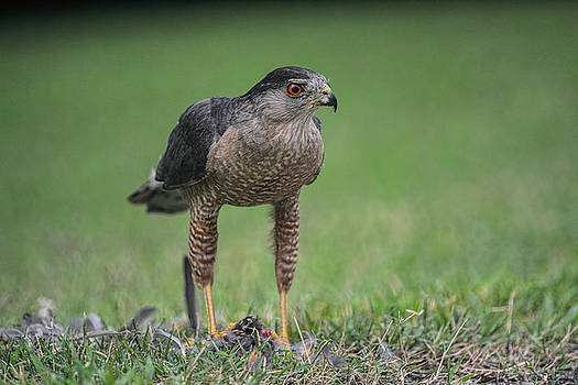Sharp Shinned Hawk With Prey 062420159527 by WildBird Photographs