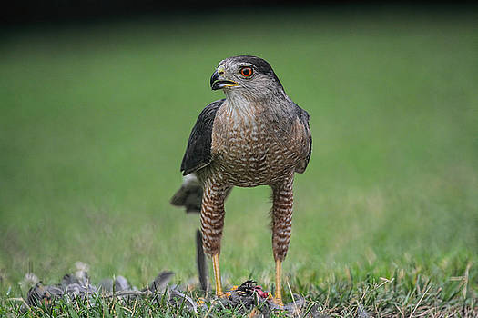 Sharp Shinned Hawk With Prey 062420159532 by WildBird Photographs