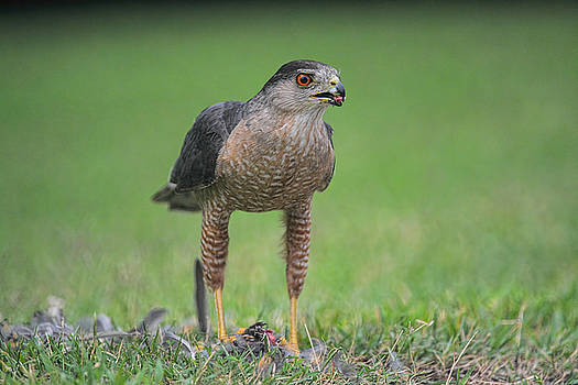 Sharp Shinned Hawk With Prey 062420159543 by WildBird Photographs