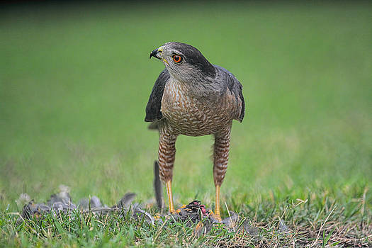 Sharp Shinned Hawk With Prey 062420159553 by WildBird Photographs