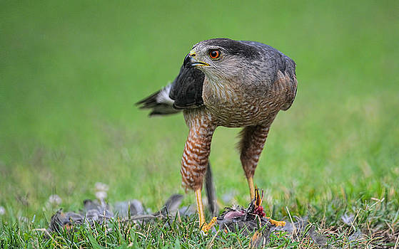 Sharp Shinned Hawk With Prey 062420159682 by WildBird Photographs