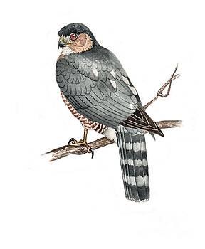 Sharpr-shinned Hawk by Scott Rashid