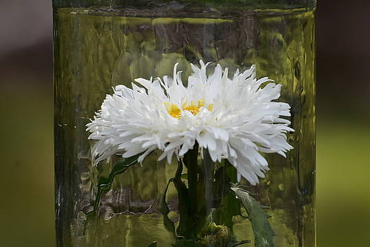 Shasta Daisy by Sherry McKellar