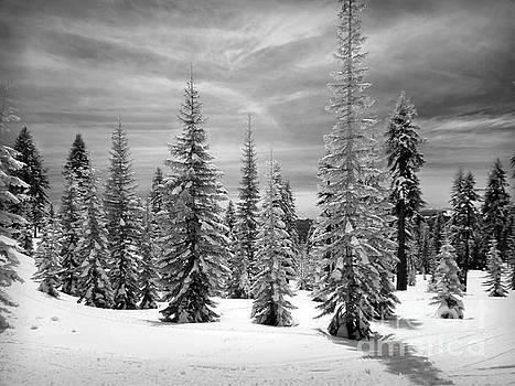 Shasta Snowtrees by Martin Konopacki