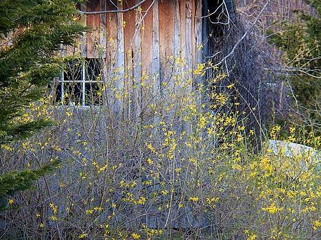 Shed and Forsythia by Joyce Kimble Smith