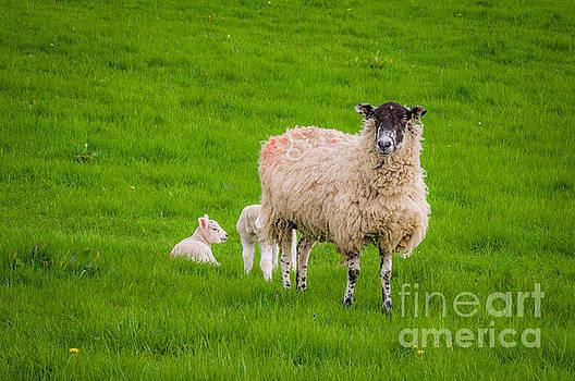 Mariusz Talarek - Sheep and lambs