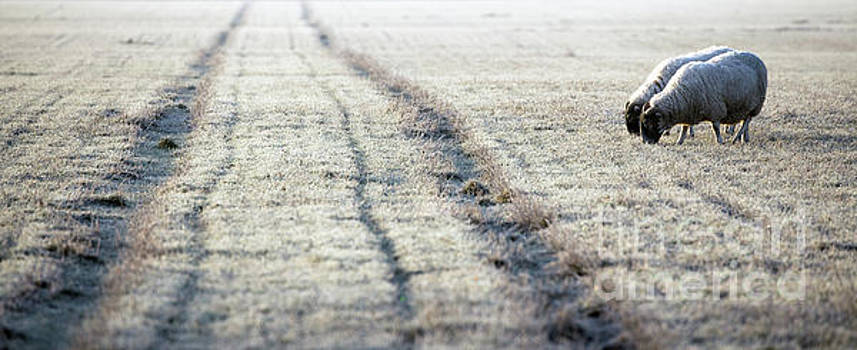 Simon Bratt Photography LRPS - Sheep approaching the frosty track