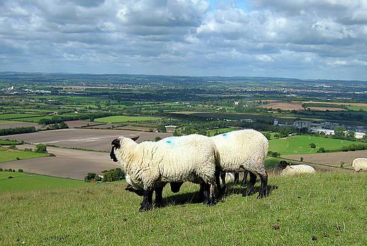 Kurt Van Wagner - Sheep at Westbury Tor