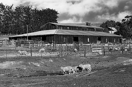 Bruce Bottomley - Sheep Barn B/W