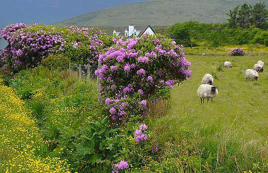 Sheep Herd on Achill Island by Jeffrey Hamilton