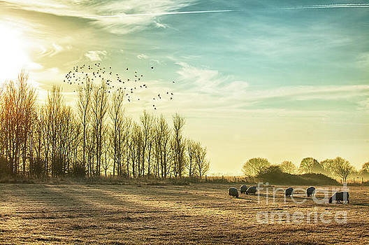 Simon Bratt Photography LRPS - Sheep in a rural sunrise landscape