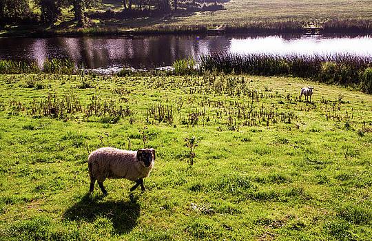 Mike Shaw - Sheep in Eniskillen