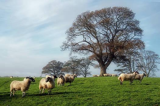 Sheep In Somerset 2 by Susie Peek