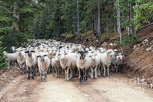 Sheep Road by Tibor Vari